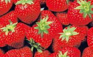 Erdbeeren, M�rz 2008